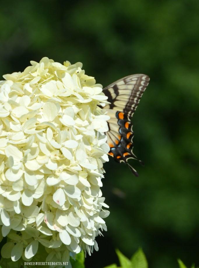 Limelight hydrangeas and Easter tiger swallowtail butterfly   ©homeiswheretheboatis.net #hydrangeas #butterfly #hydrangeas