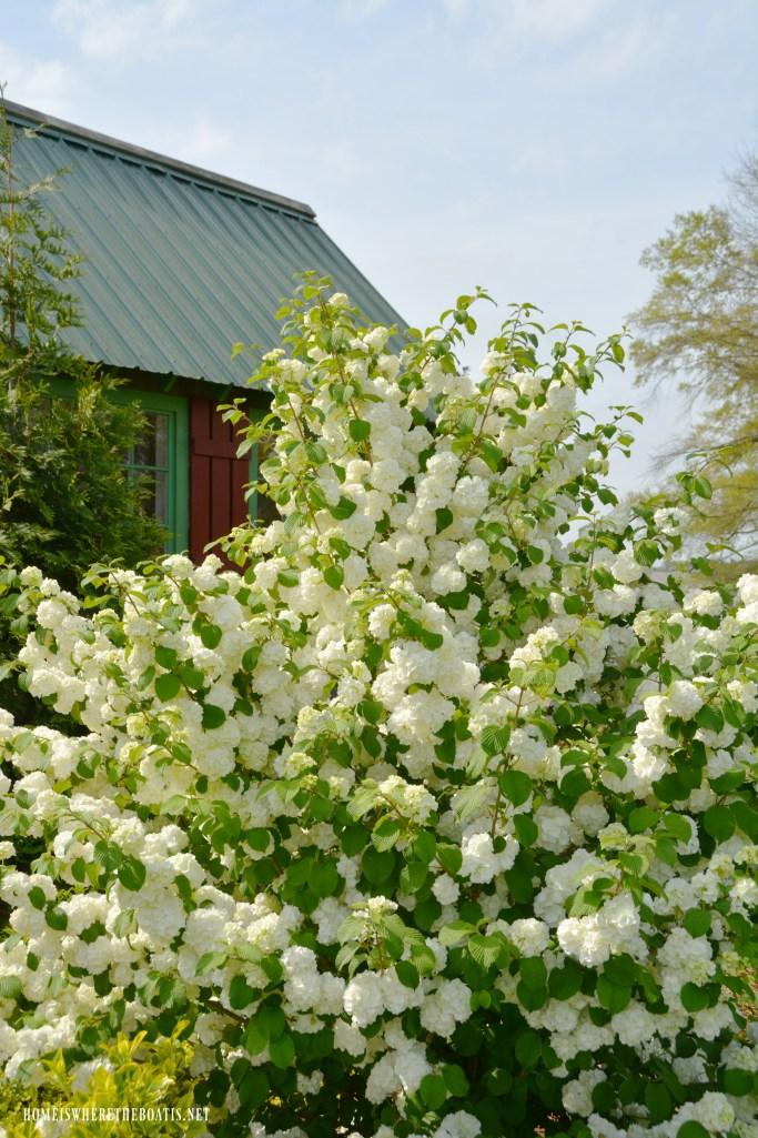 Snowball Viburnum | ©homeiswheretheboatis.net #spring #garden #flowers