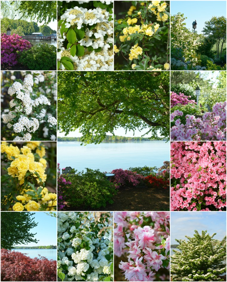 Spring in Bloom: Azaleas, Spirea, Viburnum and Lady Banks Roses | ©homeiswheretheboatis.net #garden #flowers #spring
