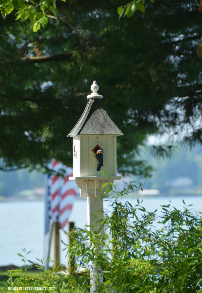 Eastern Bluebird nesting in birdhouse | ©homeiswheretheboatis.net #bird #nests #birdhouses