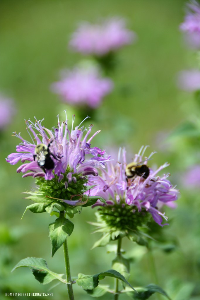 Bees on bee balm | ©homeiswheretheboatis.net #bees #garden #flowers