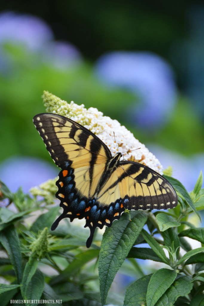 Eastern Tiger Swallowtail Butterfly on butterfly bush | ©homeiswheretheboatis.net #garden #flowers #spring