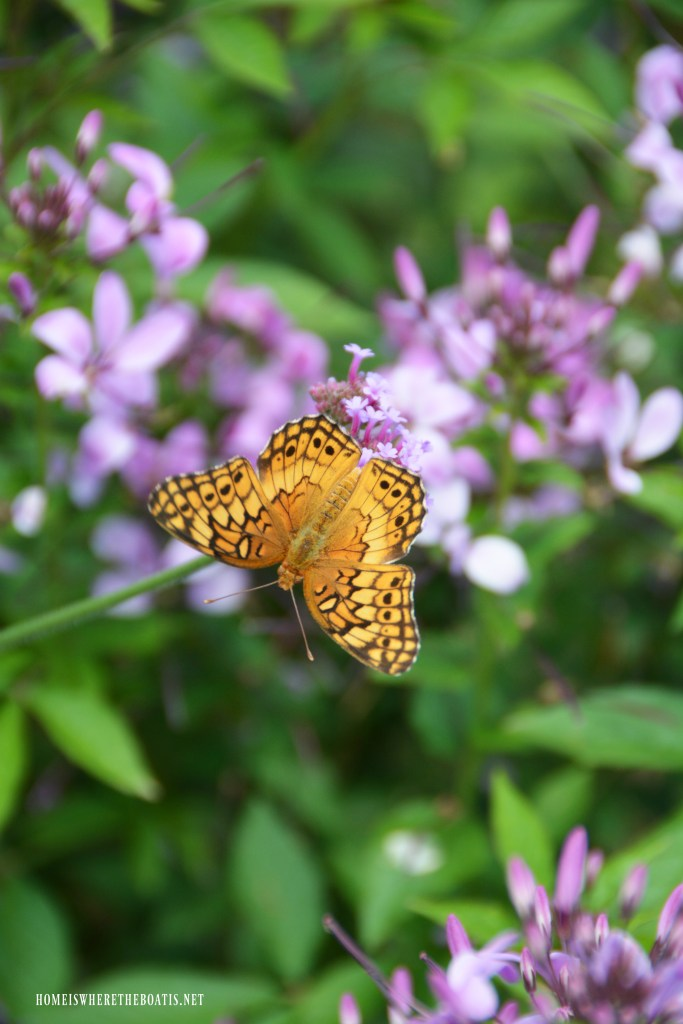 Butterfly on verbena | ©homeiswheretheboatis.net #summer #garden #flowers #butterfly