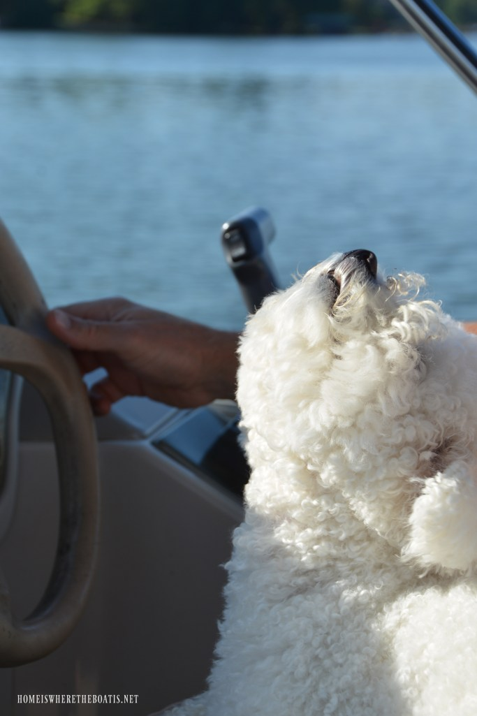 Lola on pontoon in captain's chair | ©homeiswheretheboatis.net #boatingwithdogs #bichonfrise #nationaldogday