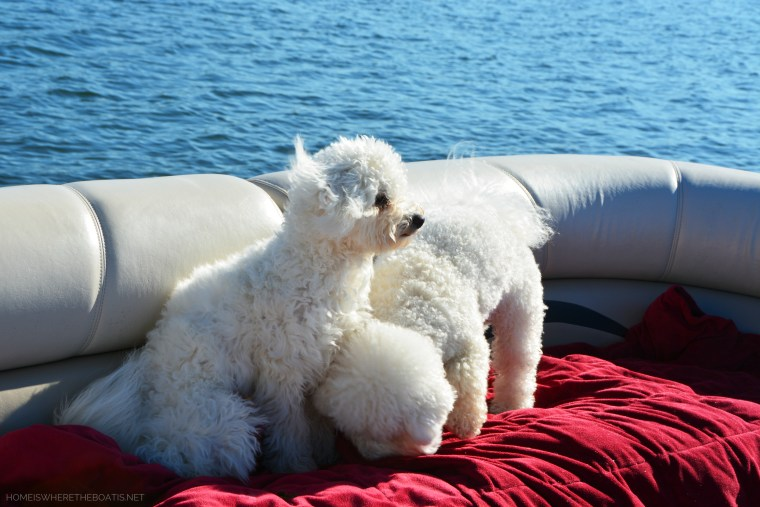 Weekend Waterview Sophie and Lola on pontoon December | ©homeiswheretheboatis.net #dogs #LKN #boat #bichonfrise