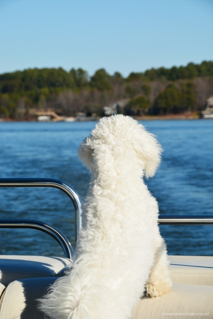 Weekend Waterview Sophie on pontoon December | ©homeiswheretheboatis.net #dogs #LKN #boat #bichonfrise