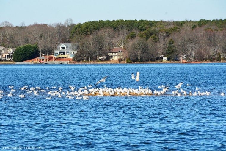 Weekend Waterview gulls on Lake Norman | ©homeiswheretheboatis.net #LKN #boat
