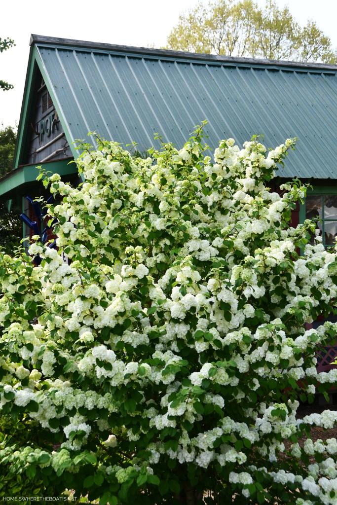 Snowball Viburnum | ©homeiswheretheboatis.net #flowers #spring #garden