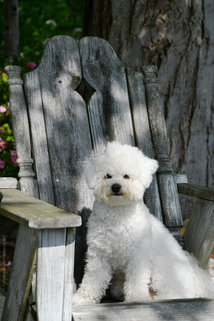 Weekend Waterview Sophie | ©homeiswheretheboatis.net #dogs #bichonfrise