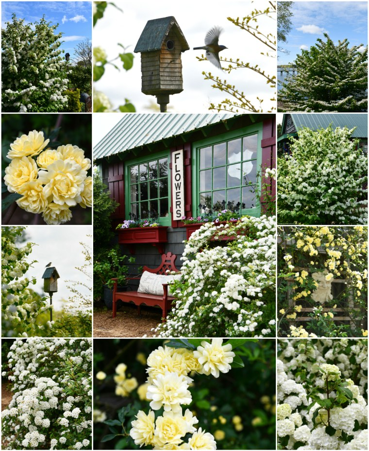 Garden Smiles and Spring Blooms: Viburnum, Bridal Wreath Spirea and Lady Banks Rose | ©homeiswheretheboatis.net #flowers #garden #spring