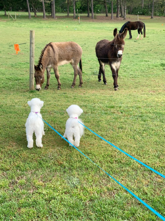Dogs meet donkeys | ©homeiswheretheboatis.net #dogs #bichonfrise