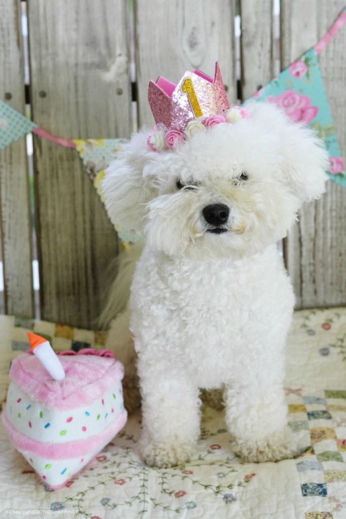 Lola 1st birthday | ©homeiswheretheboatis.net #dog #bichonfrise