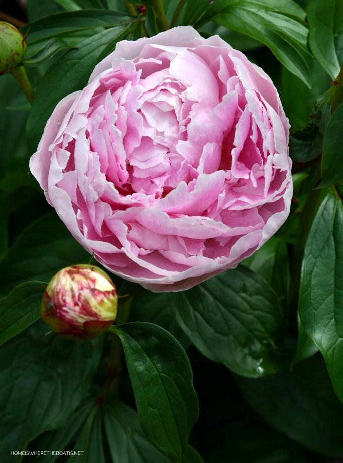 Sarah Bernhardt Peony | ©homeiswheretheboatis.net #flowers #garden #peonies