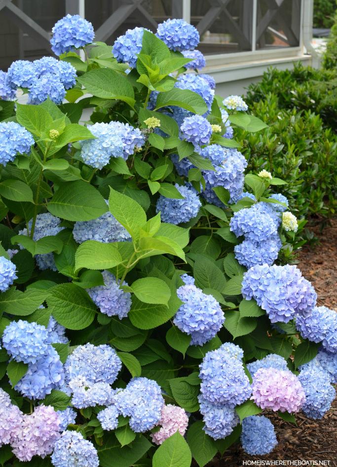Endless Summer Hydrangeas | ©homeiswheretheboatis.net #flowers #garden #hydrangeas