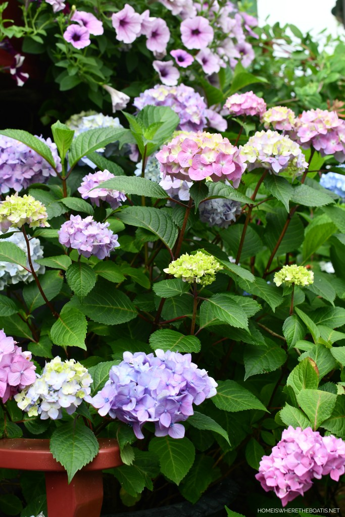 BloomStruck Hydrangeas | ©homeiswheretheboatis.net #flowers #garden #hydrangeas