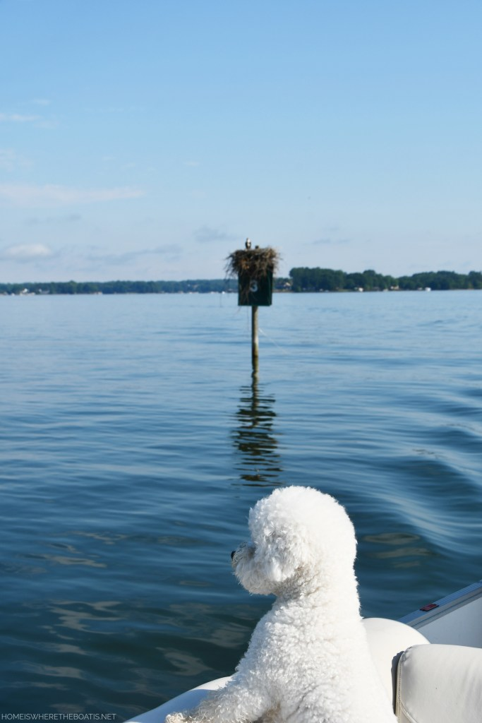 Osprey nest on channel marker and boating with dogs | ©homeiswheretheboatis.net #lake #bichonfrise #pontoon