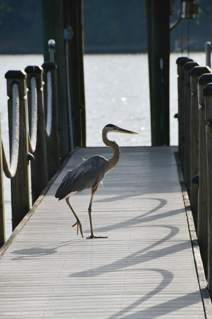 Great Blue Heron on dock | ©homeiswheretheboatis.net #lake #LKN