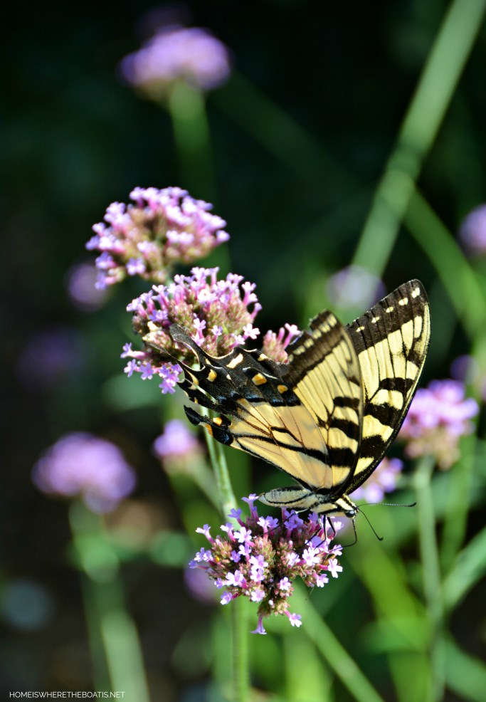 Swallowtail butterfly on verbena | ©homeiswheretheboatis.net #flowers #garden #butterfly