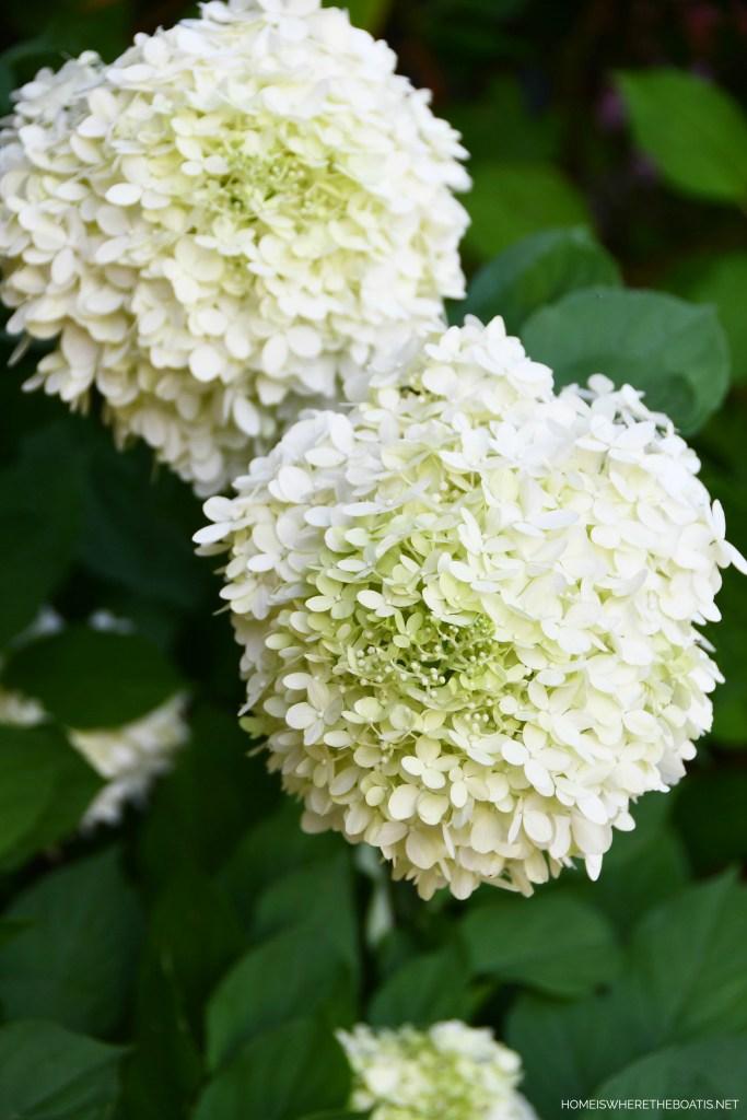 Limelight Hydrangeas | ©homeiswheretheboatis.net #flowers #garden