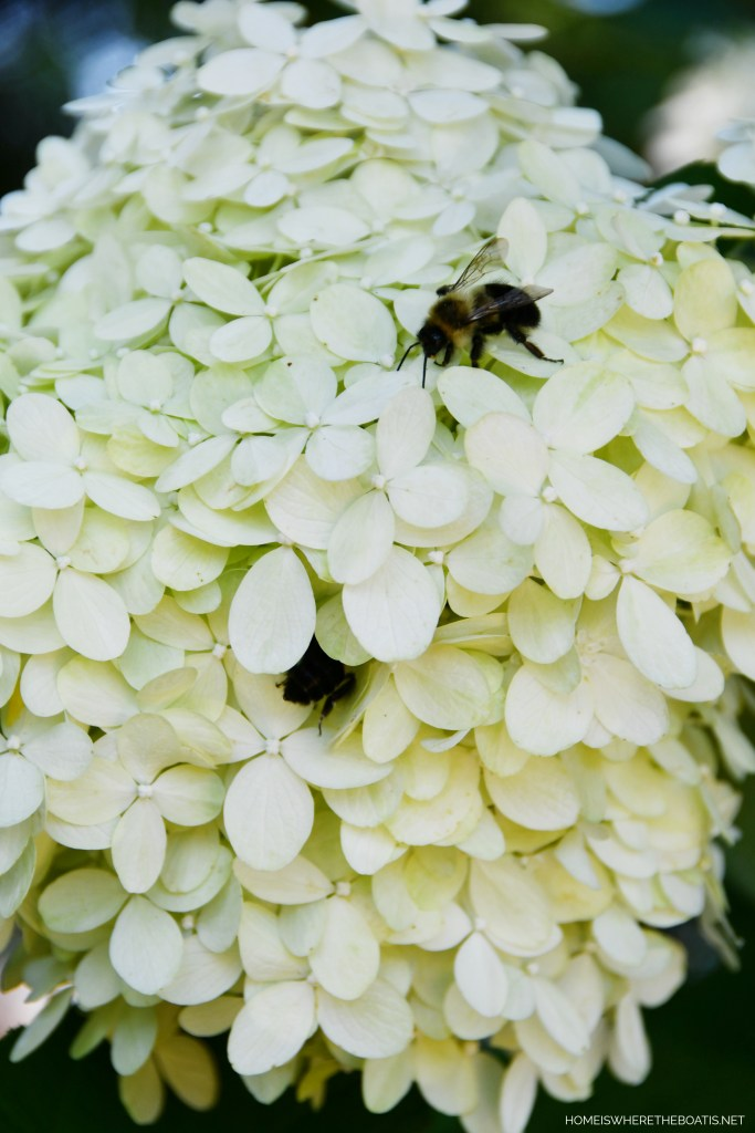 Limelight hydrangea with bees | ©homeiswheretheboatis.net #bees #flowers #garden