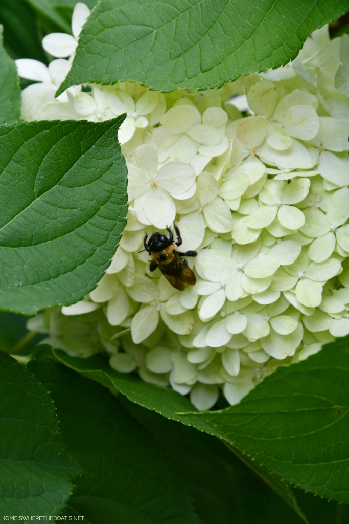 Limelight hydrangea with bumblebee | ©homeiswheretheboatis.net #bees #flowers #garden