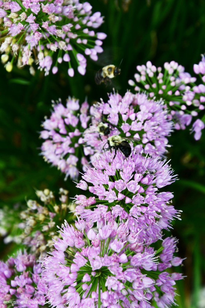 Allium and bees | ©homeiswheretheboatis.net #garden #flowers #bees