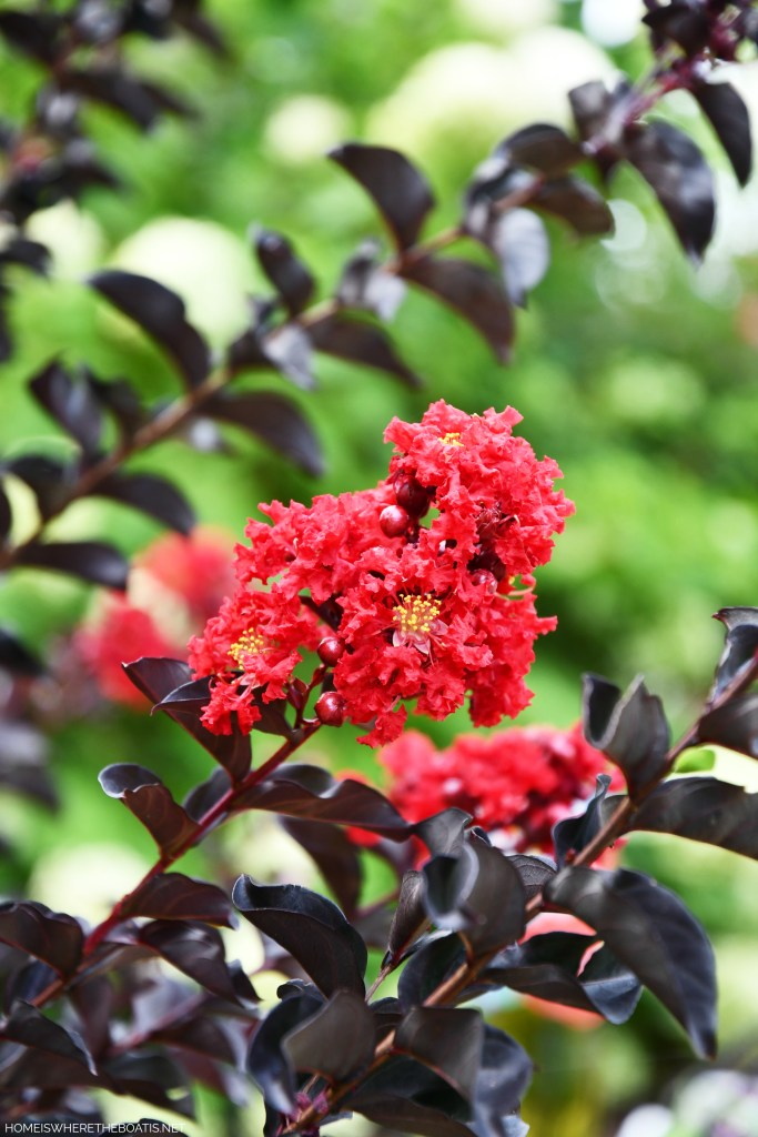 Black Diamond Crape Myrtle | ©homeiswheretheboatis.net #flowers #garden #summer