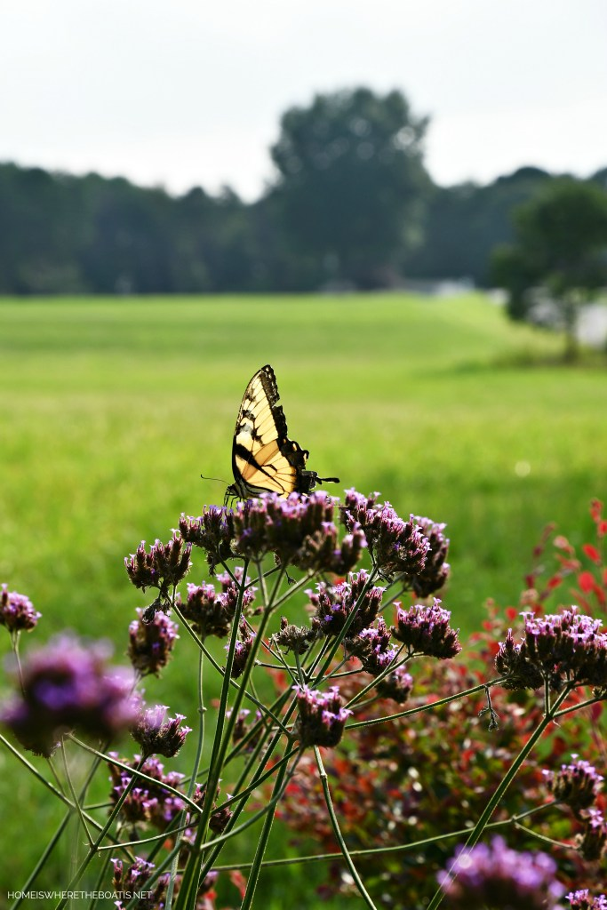 Swallowtail Butterfly on verbena | ©homeiswheretheboatis.net #butterfly #garden #flowers