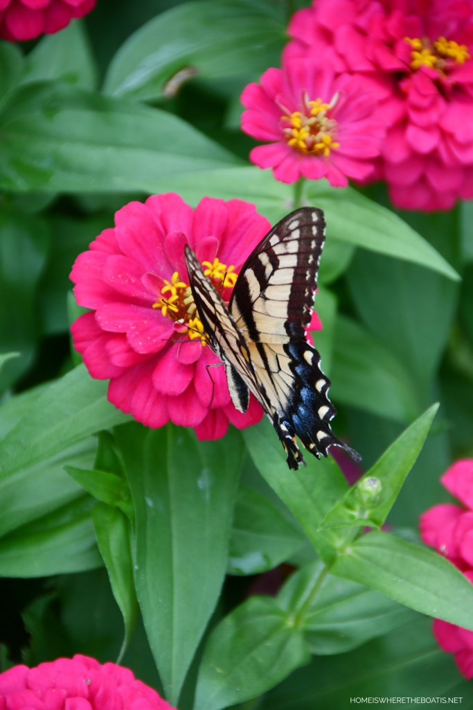 Swallowtail Butterfly on Zinnia | ©homeiswheretheboatis.net #butterfly #garden #flowers