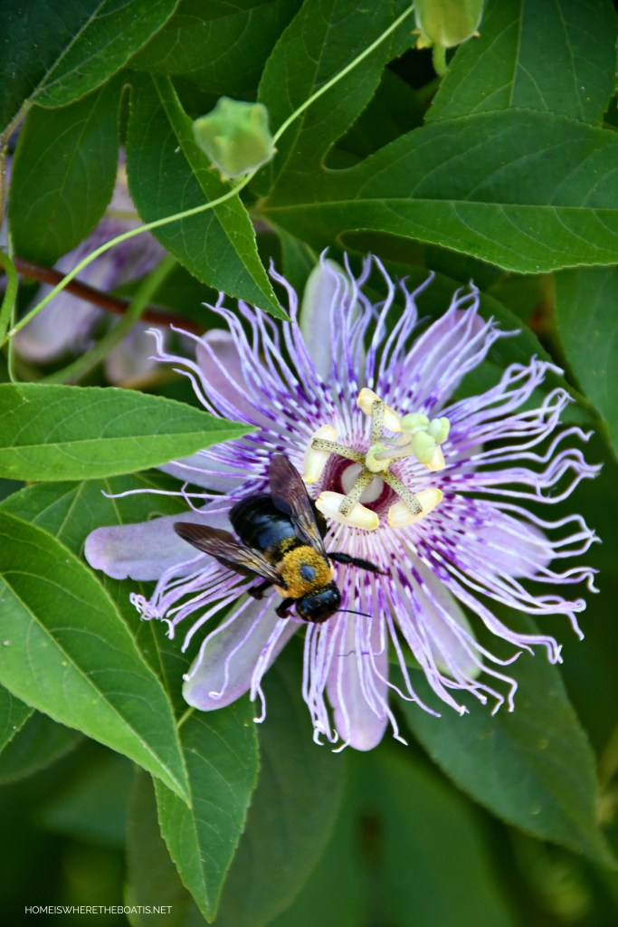 Bee on passionflower | ©homeiswheretheboatis.net #bees #garden #flowers