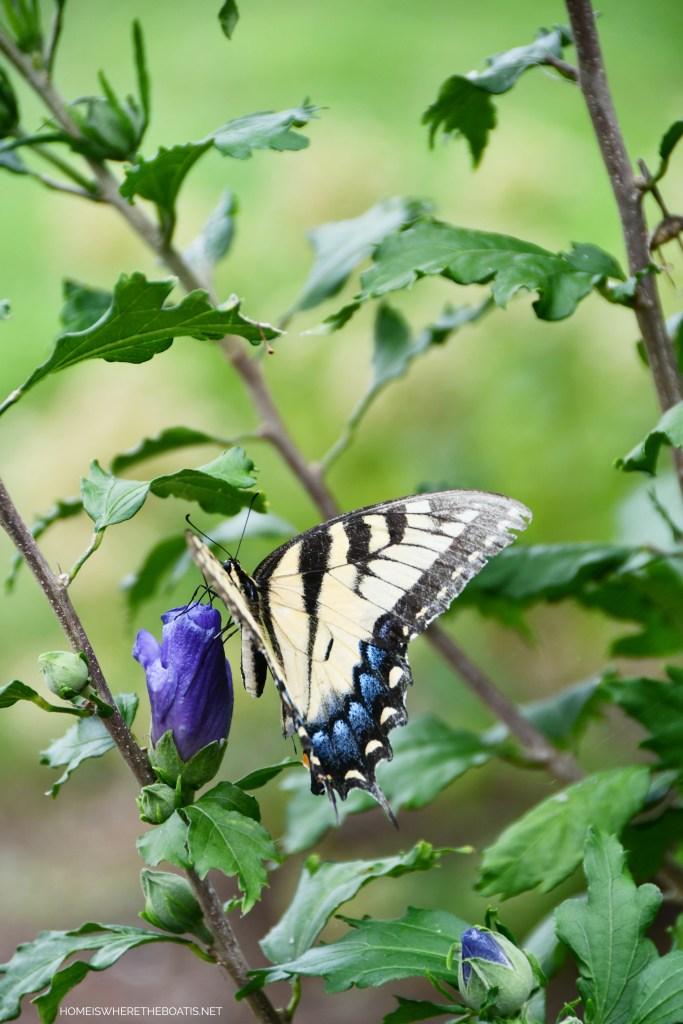 Eastern Tiger Swallowtail Butterfly | ©homeiswheretheboatis.net #butterfly #garden #flowers