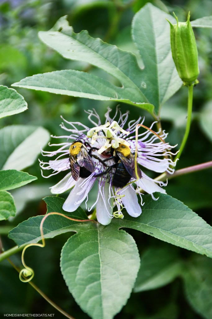 Bees on Passionflower | ©homeiswheretheboatis.net #bees #garden #flowers