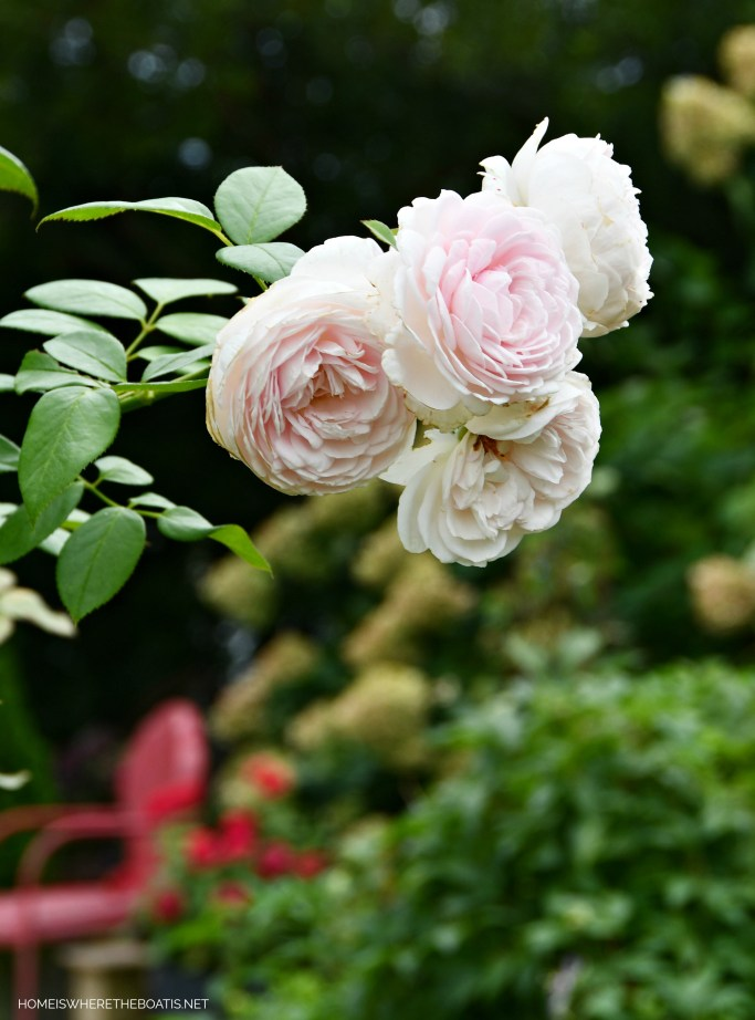 Earth Angel Rose | ©homeiswheretheboatis.net #garden #flowers