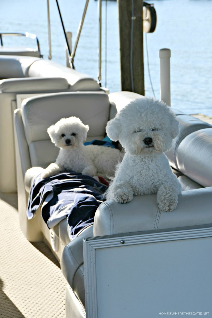 Lola and Sophie ready for pontoon ride | ©homeiswheretheboatis.net #lake #boating #dogs #bichonfrise #LKN