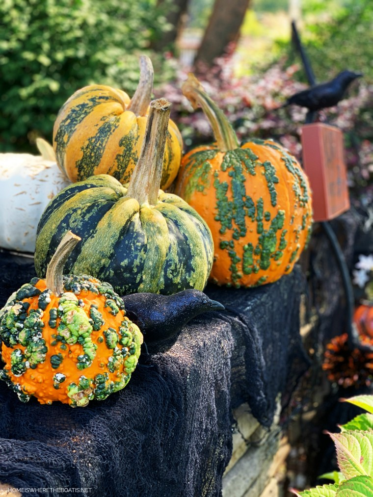 Pumpkins with crow for Halloween | ©homeiswheretheboatis.net #DIY #halloween