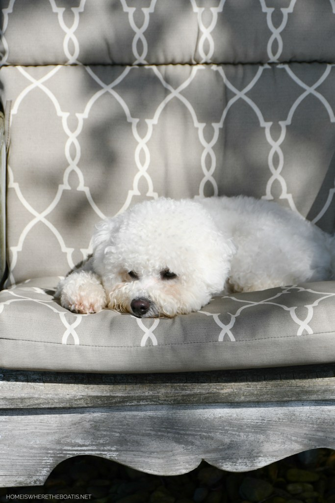 Sophie in chair | ©homeiswheretheboatis.net #dog #bichonfrise