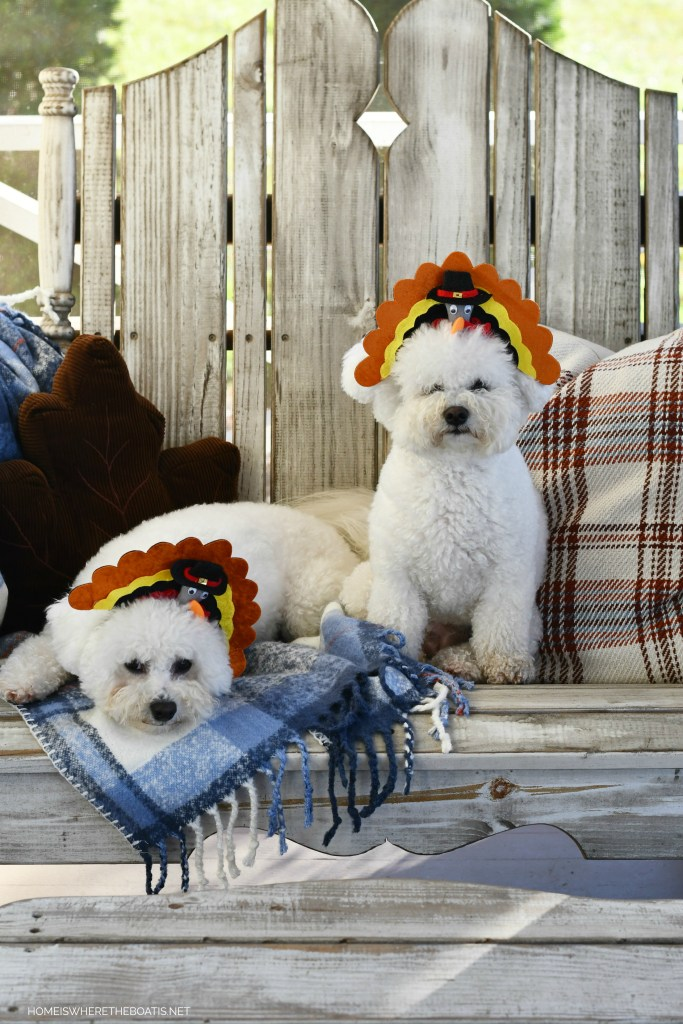 Lola and Sophie turkey headbands for Thanksgiving | ©homeiswheretheboatis.net #dogs #thanksgiving #bichonfrise