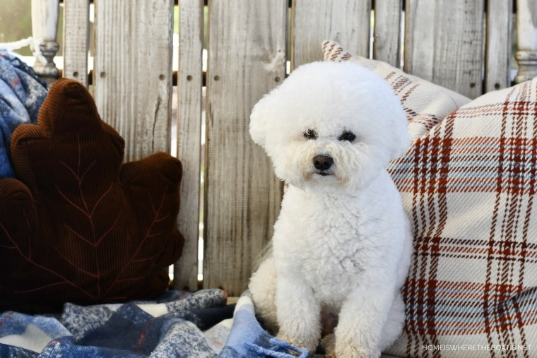 Lola | ©homeiswheretheboatis.net #dogs #thanksgiving #bichonfrise