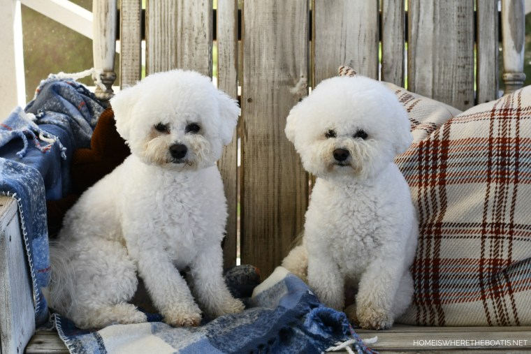 Lola and Sophie | ©homeiswheretheboatis.net #dogs #thanksgiving #bichonfrise