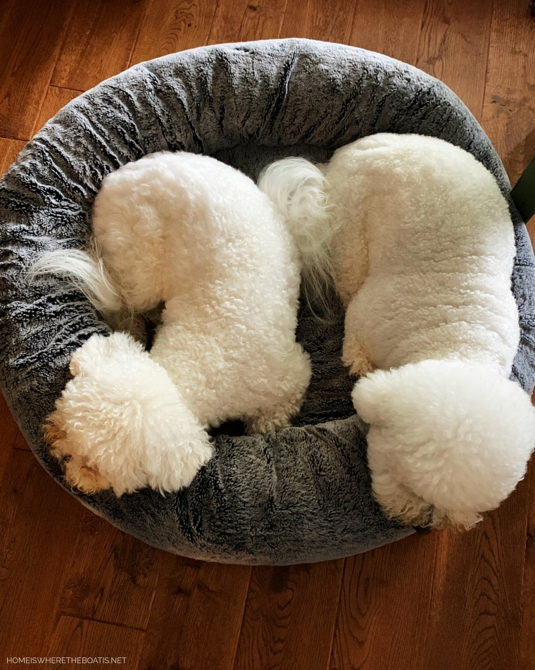 Lola and Sophie napping | ©homeiswheretheboatis.net #dog #bichonfrise