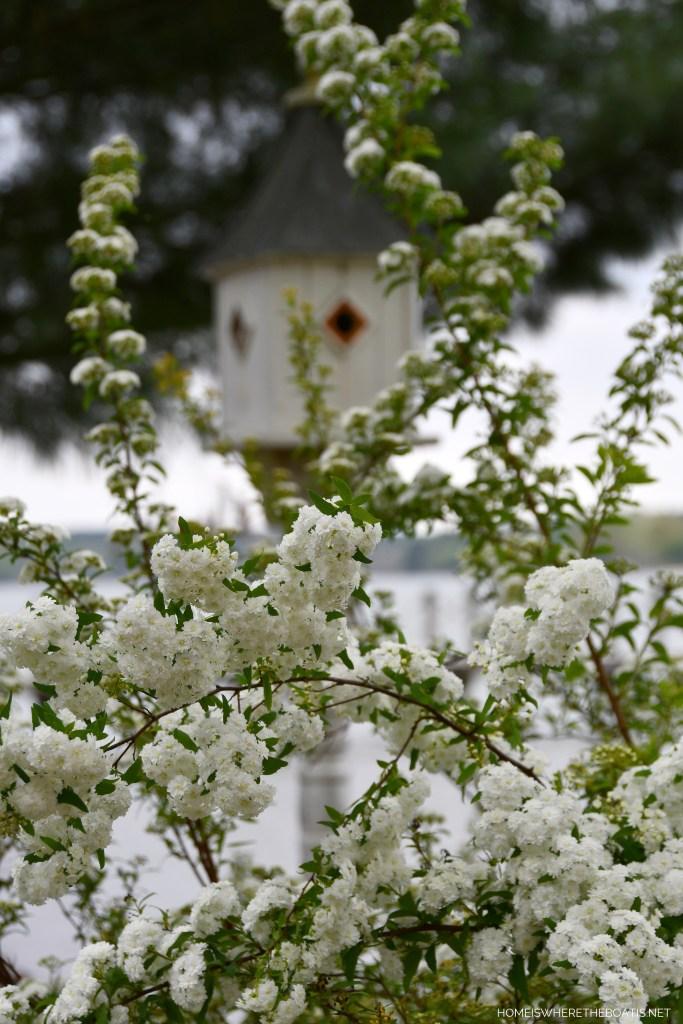 Bridal Wreath Spirea | ©homeiswheretheboatis.net #spring #flowers #garden