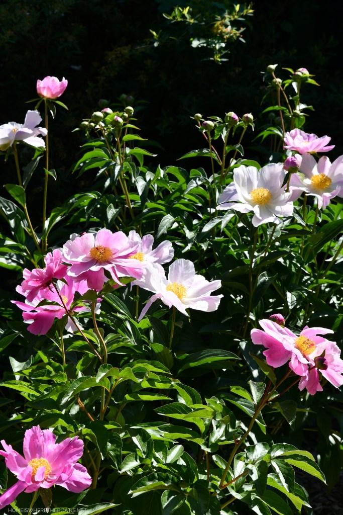 Peonies | ©homeiswheretheboatis.net #pottingshed #garden #flowers