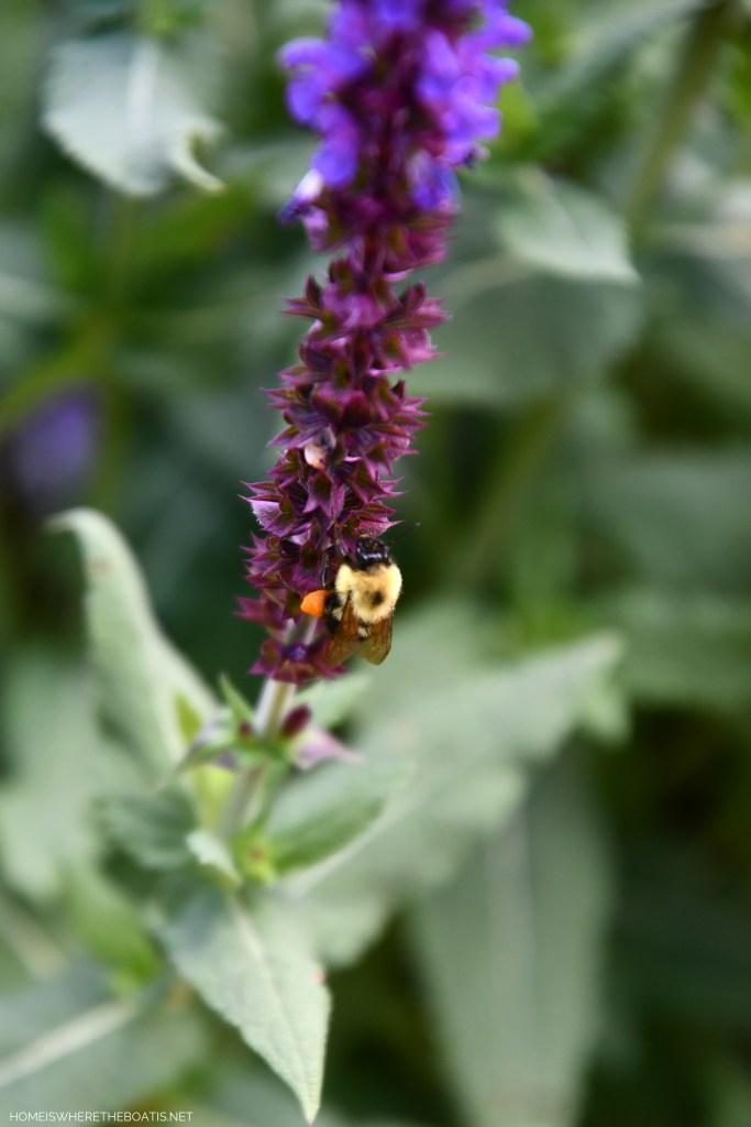 Bee with pollen basket | ©homeiswheretheboatis.net #DIY #bees #garden #flowers