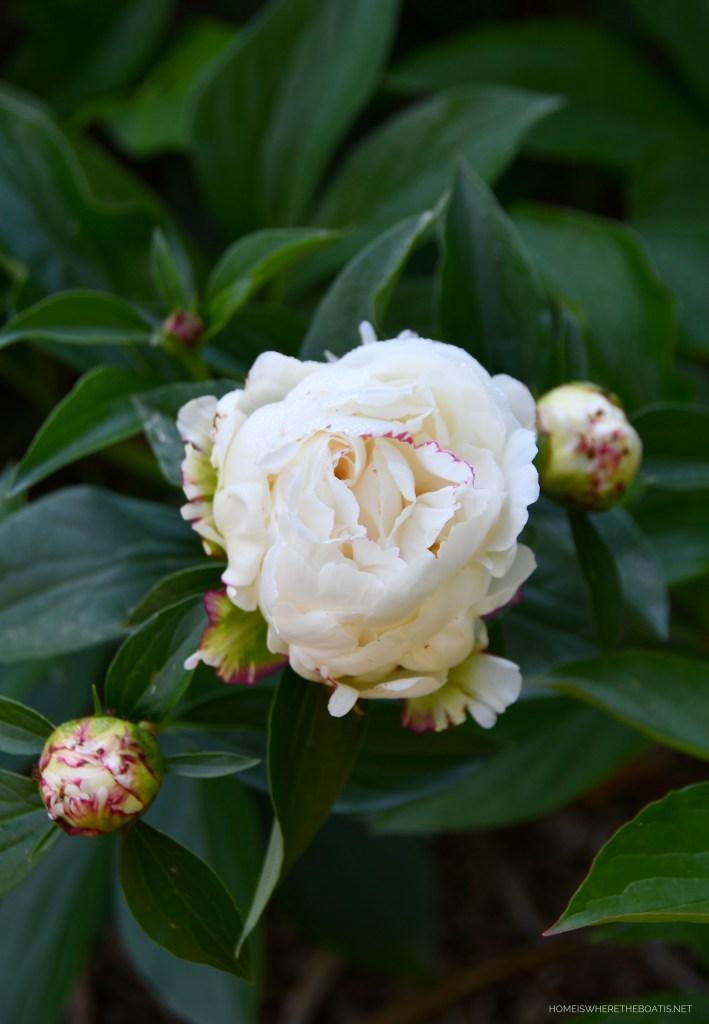 'Festiva Maxima' Peony | ©homeiswheretheboatis.net #peonies #flowers #garden