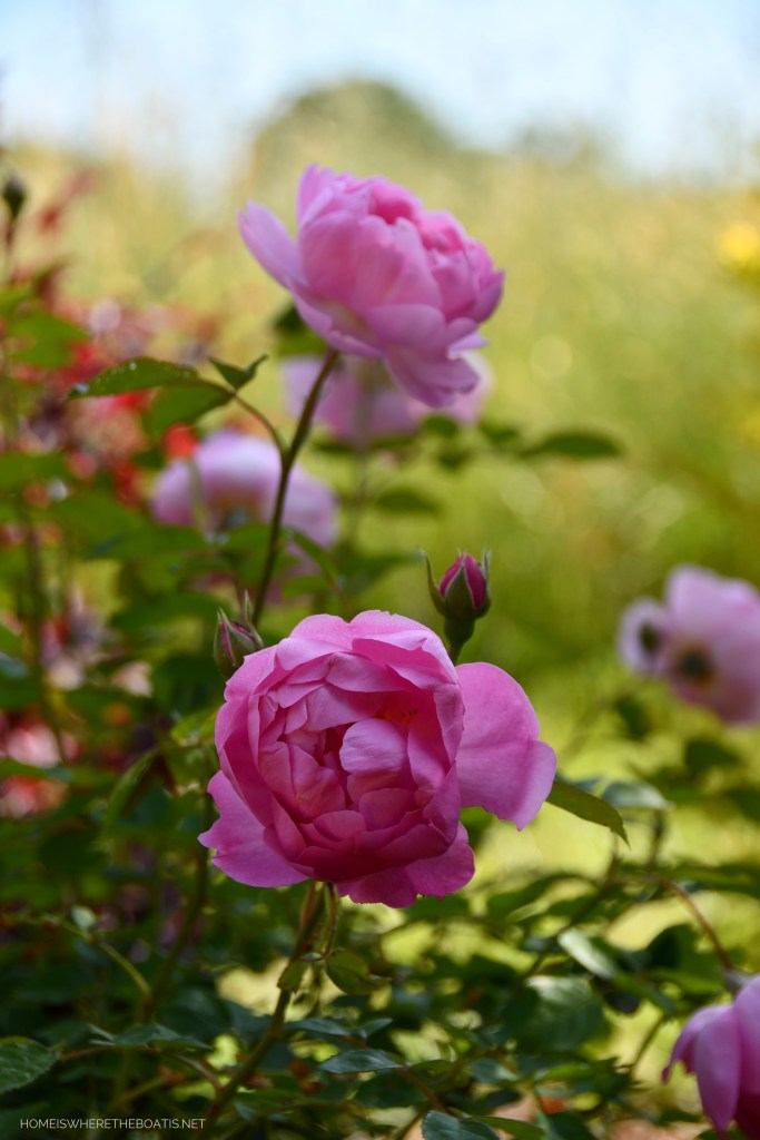 Royal Jubilee Rose | ©homeiswheretheboatis.net #pottingshed #garden #flowers