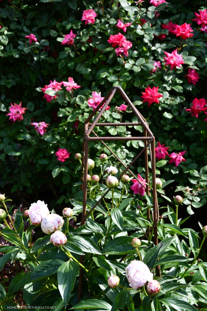 Peony buds | ©homeiswheretheboatis.net #pottingshed #garden #flowers