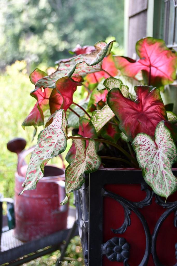 Caladiums in window box | ©homeiswheretheboatis.net #pottingshed #garden #flowers
