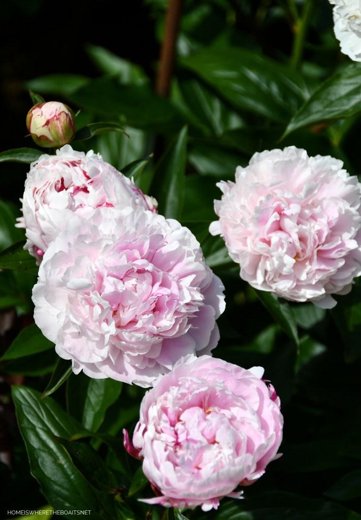 Sarah Bernhardt Peony   ©homeiswheretheboatis.net #peonies #flowers #garden