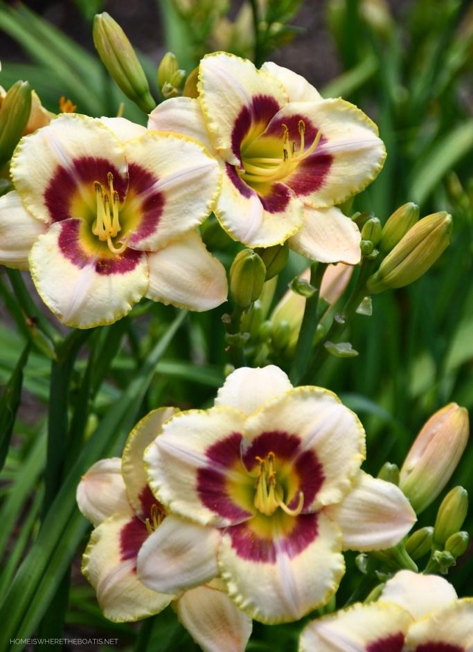 Daylilies | ©homeiswheretheboatis.net #summer #garden #flowers #daylilies #hydrangeas #bees #butterflies