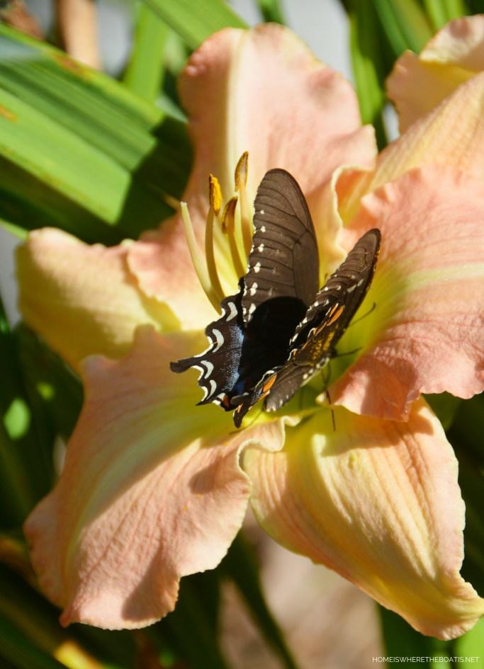 Black Swallowtail butterfly on daylily | ©homeiswheretheboatis.net #summer #garden #flowers #daylilies #hydrangeas #bees #butterflies